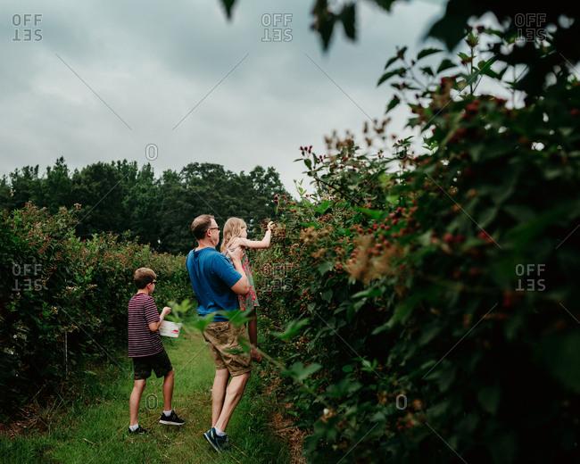 Father helping kids pick blackberries