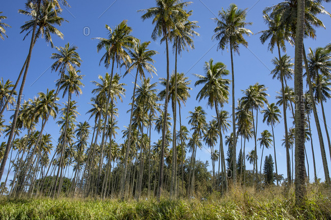 Palms at the coconut coast, Kauai