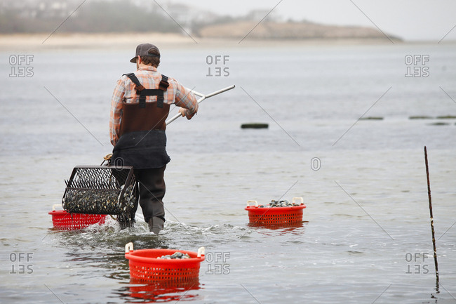 Cape cod clam digger carrying rake full of clams to harvest baskets