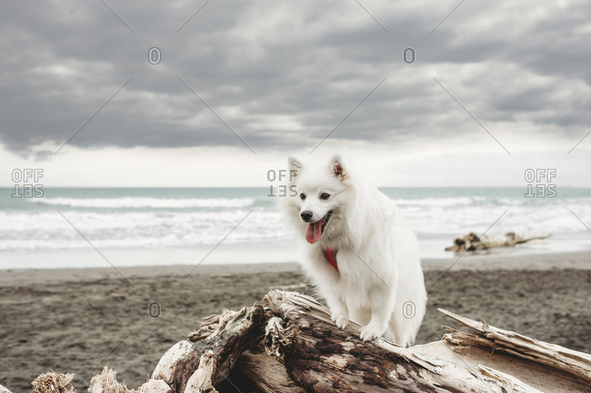 Small fluffy white dog sitting on driftwood at the beach