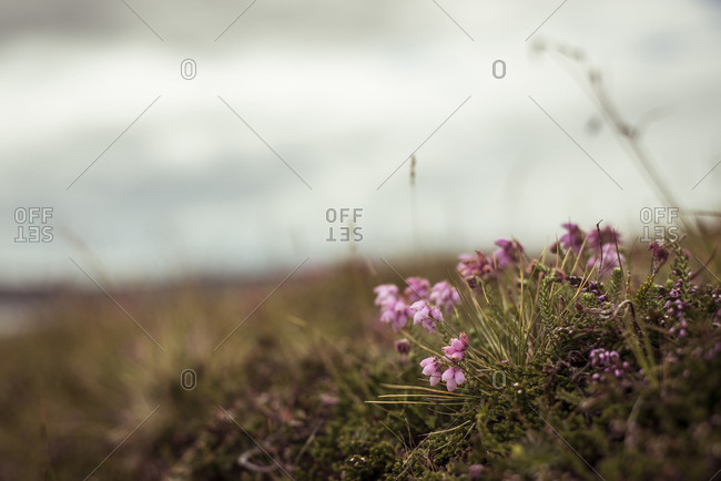 Heath flowers in highland mountains