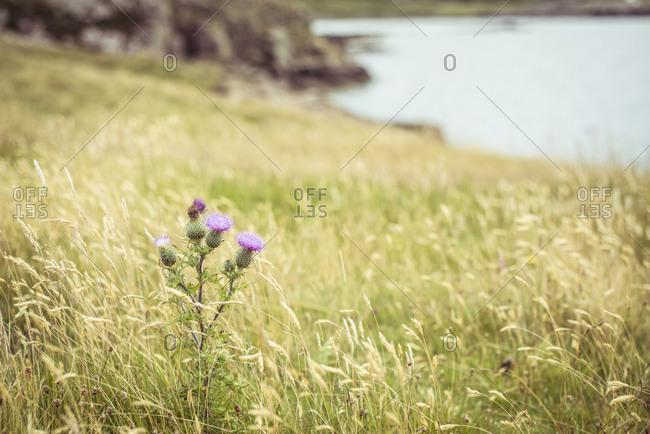 Purple thistle heath flowers in highland mountains