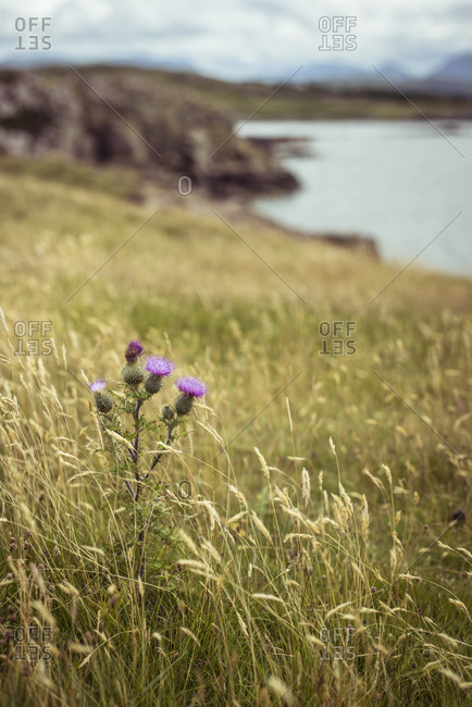 Scottish thistle flower in grassy mountains