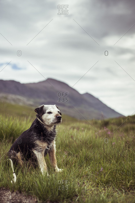 Proud older dog sits in remote mountain heath in Scottish highlands