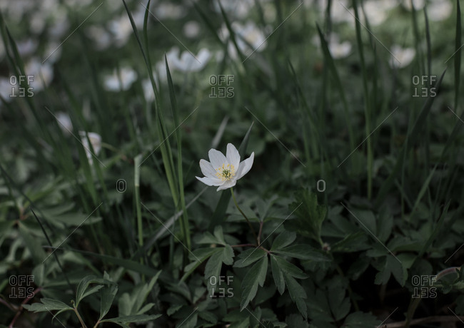 A single white flower amongst green grass