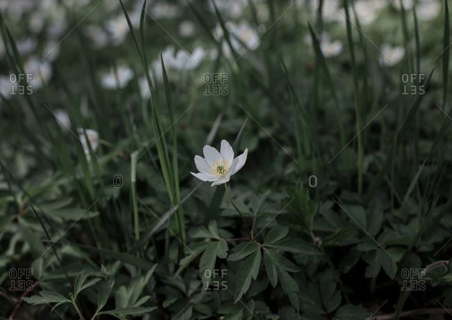 A single white flower amongst green grass