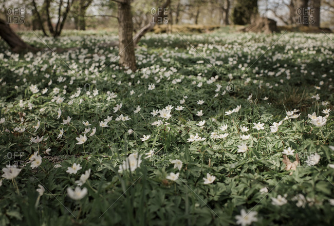 A field of white flowers and green grass