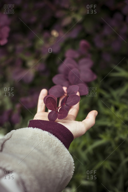 Hand touches and holds beautiful purple leaf in lush garden