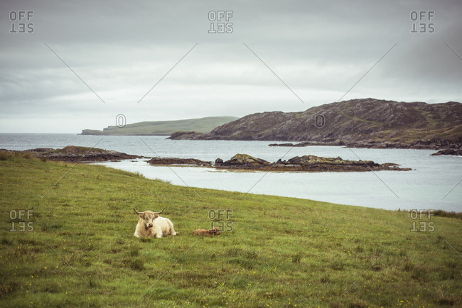 Mountain yak with baby calf sleeps by water in grass in Scotland
