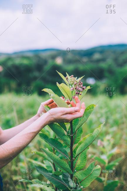 Milkweed in a Virginian wildflower field.