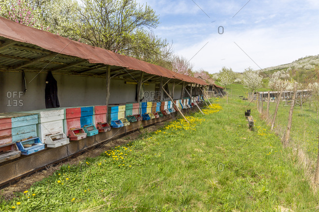 Rumania- Ciresoaia- beehives at flowering cherry trees