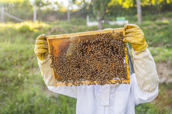 Beekeeper checking frame with honeybees