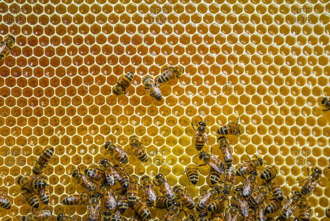 Close-up of honeybees sitting on honeycombs