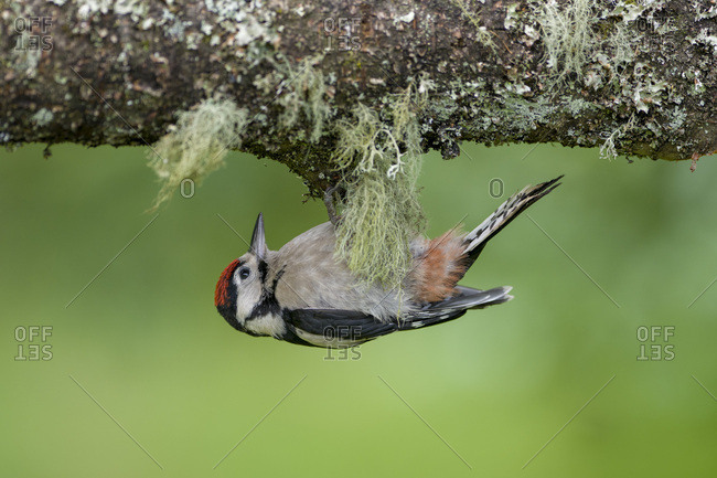 Great spotted woodpecker hanging at tree trunk