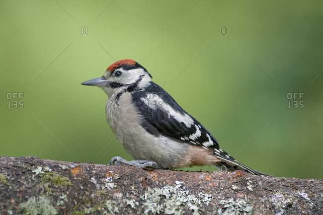 Great spotted woodpecker perching on tree trunk
