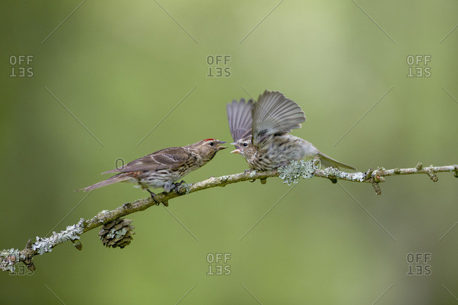 Common redpoll and fledgling perching on twig