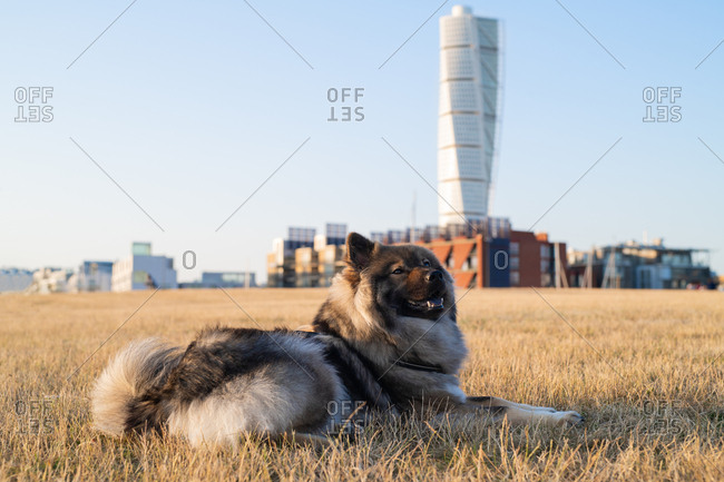 Dog relaxing in field with tall buildings in background