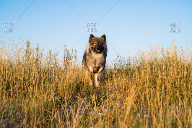 Fluffy dog in a field with tall grass