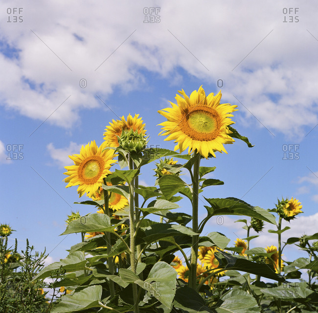 Field of sunflowers against a blue sky