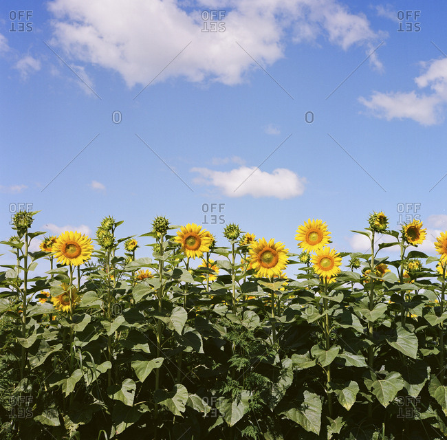 Row of sunflowers on a sunny day