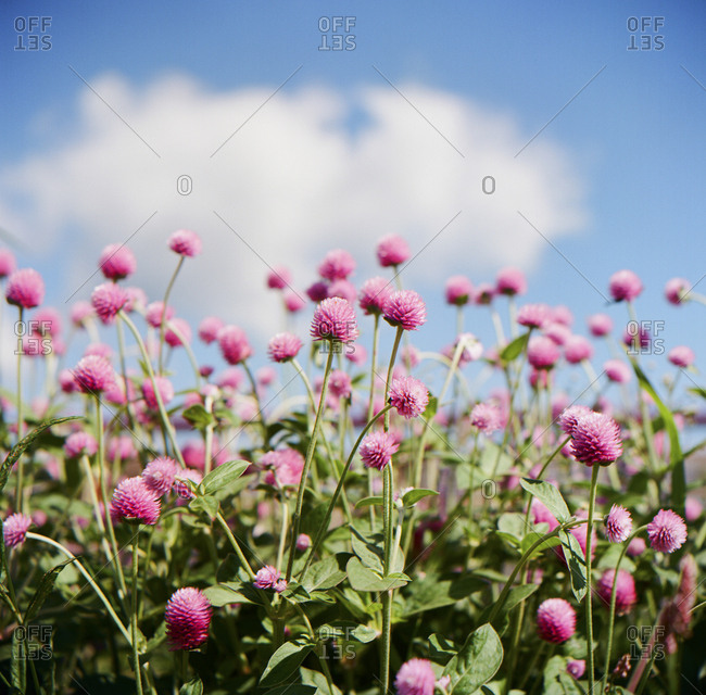 Field of pink wildflowers in the sun