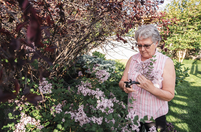 Older woman cutting lilac flowers off of lilac shrub with pruners.