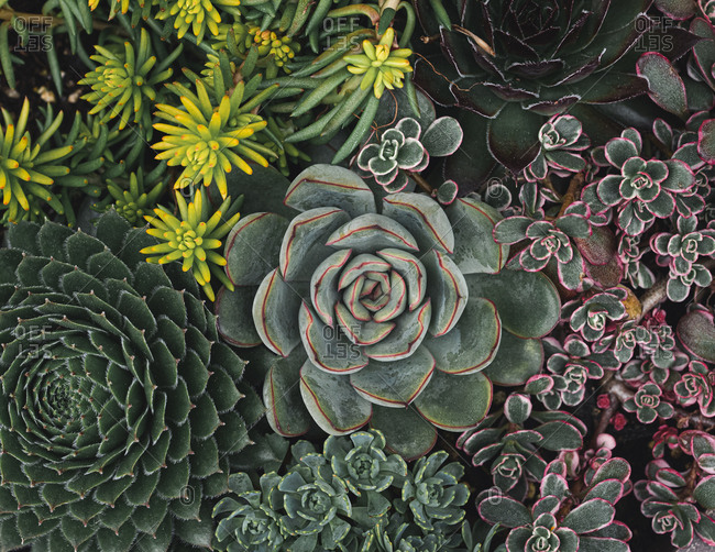 Overhead shot of a variety of succulent cactus plants.