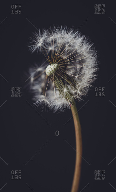 Close up of dandelion missing seed heads against a black background.
