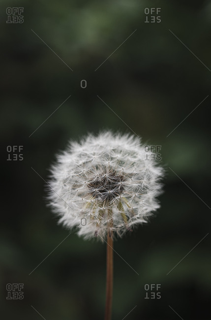 Close up of white fluffy dandelion against a green blurred background.