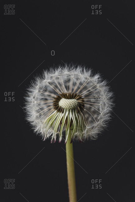 Macro image of the seeds on top of a white fluffy dandelion flower.