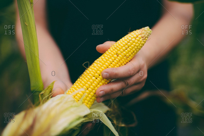 Gardener Inspecting Corn Crop At Garden