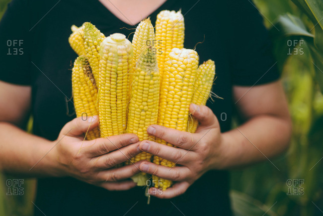 Woman  holding freshly picked corn on the cob from the garden
