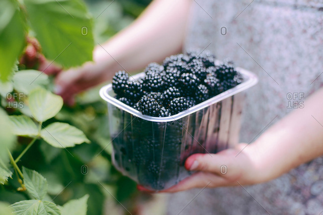 Woman holding a basket of blackberries  outdoor