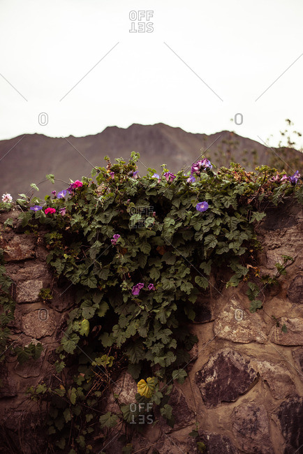 Wild flowers grow on stone wall in front of mountains and clouds
