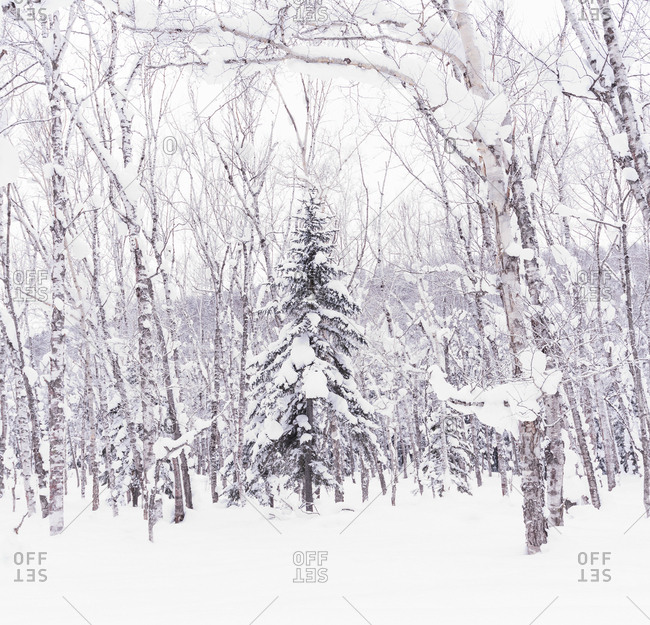 Pine tree covered in snow in a peaceful forest, Hokkaido, japan