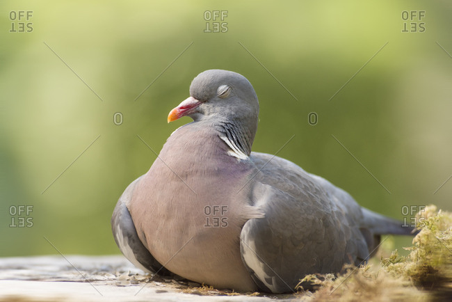 Wood pigeon relaxes with eyes closed