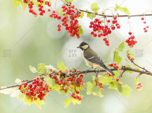 Great tit standing on a red currant branch