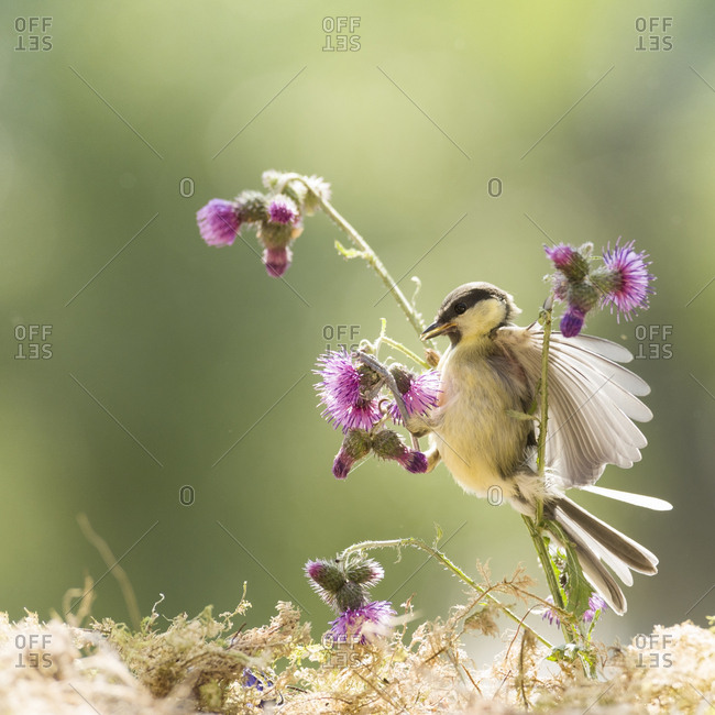 Great tit hold thistle flowers