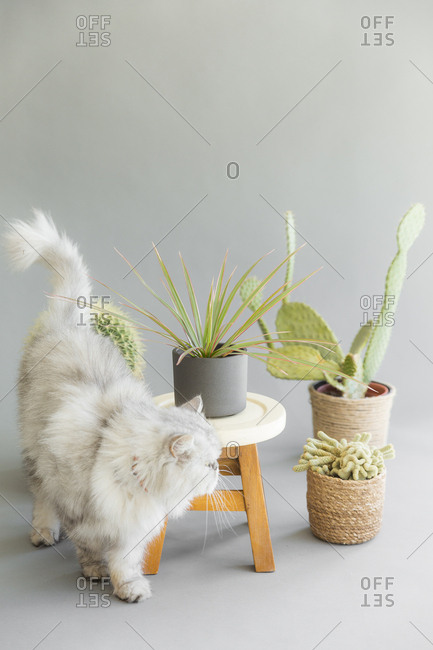 Cat wandering around a stool with plants and cactuses.