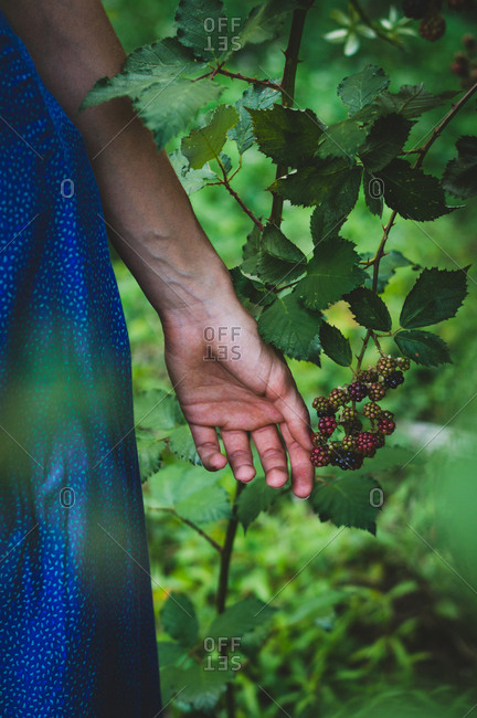 Woman's hand reaching for wild blackberries on a vine