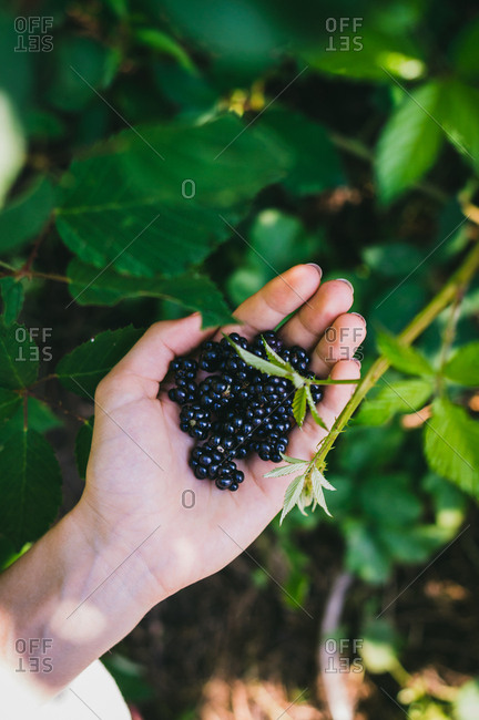 Close up of wild blackberries in woman's hand on a sunny day