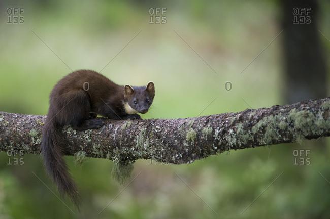 Portrait of pine marten crouching on tree trunk