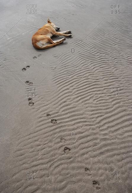 Sleeping dog at the beach- Sur- Oman