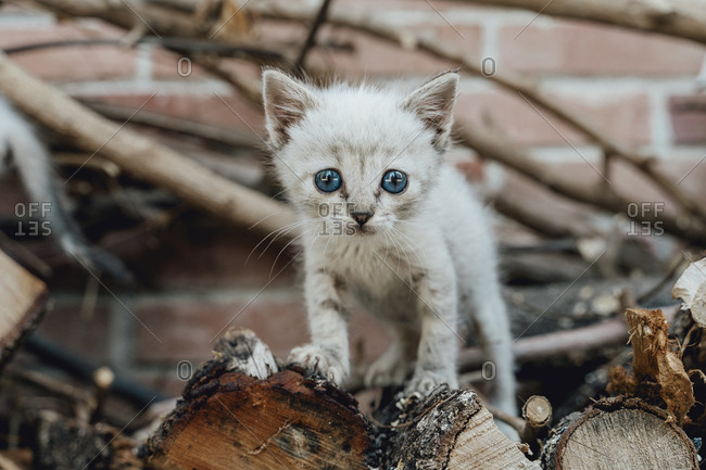 Portrait of kitten with blue eyes