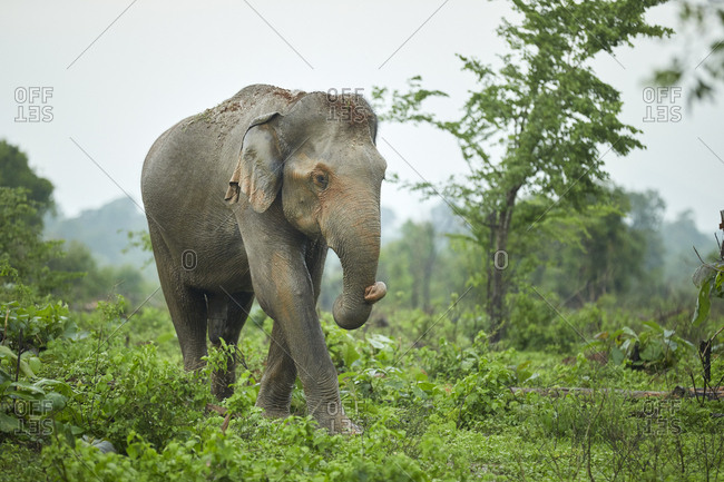 Portrait of Indian elephant with soil on his head- Udawalawe National Park- Sri Lanka