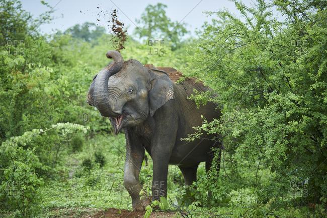 Portrait of Indian elephant throwing soil on his back- Udawalawe National Park- Sri Lanka