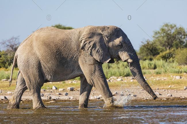 Namibia- Etosha National Park- African Elephant walking through waterhole
