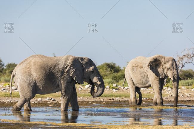 Namibia- Etosha National Park- two  African Elephants drinking at waterhole