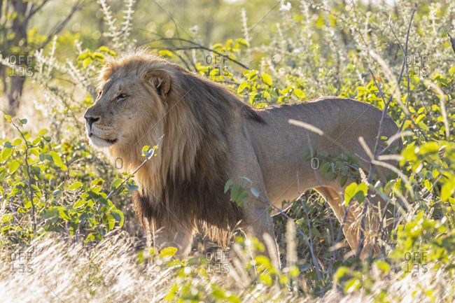 Africa- Namibia- Etosha National Park- male lion- Panthera leo