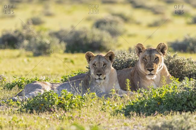 Africa- Namibia- Etosha National Park- lions- Panthera leo- mother animal and young animal lying